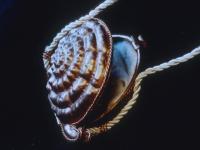 Disco Snail ($50)